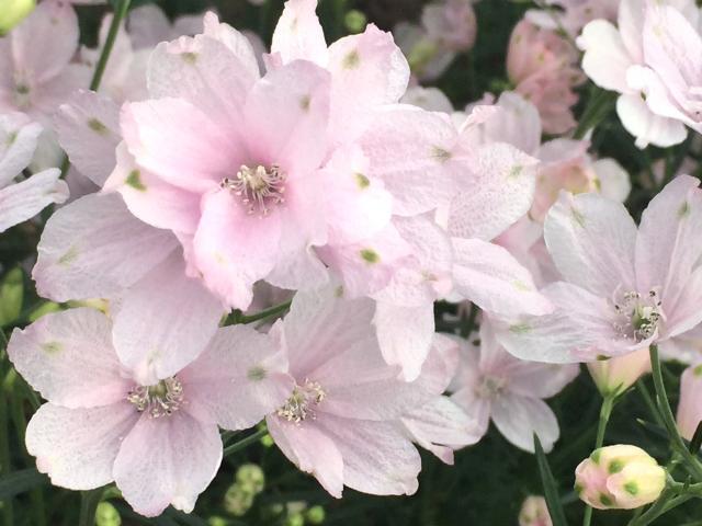 [キニナルッ]愛媛県オリジナルの花「さくらひめ」の鉢物購入キャンペーンがスタート